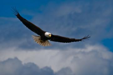 Fototapeta Ptaki Bald eagle soaring