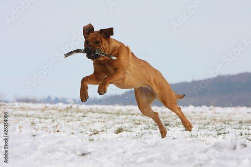 Fotografia bond spectaculaire du chien de combat japonais,tosa