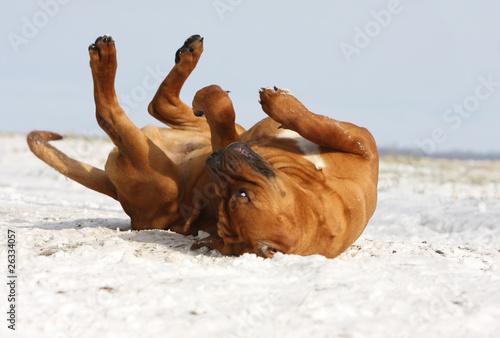 Fotografija tosa inu se roulant dans la neige