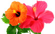 Leinwandbild Motiv fleurs d'hibiscus