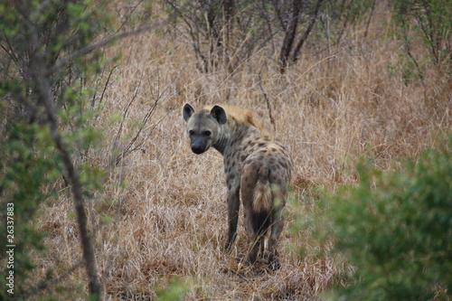 Photo sur Toile Hyène Afrique_du_Sud