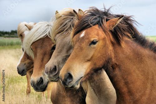 Foto auf AluDibond Pferde Junge Islandpferde III