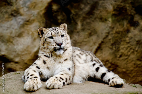 Tuinposter Luipaard Snow Leopard Irbis (Panthera uncia) looking ahead
