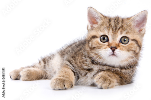British kittens on white backgrounds Wallpaper Mural