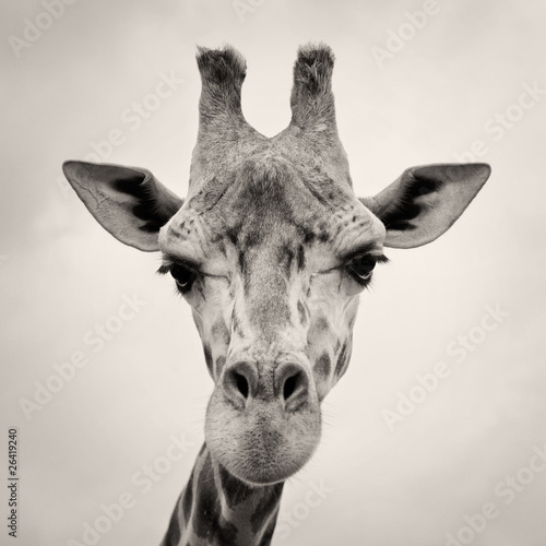 Fototapety, obrazy: vintage sepia toned image of a Giraffes Head