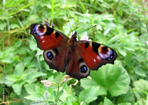 Obraz na plátně  Papillon ' Paon du jour ' sur une fleur de luzerne
