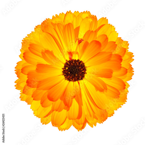 One Blossoming Orange Pot Marigold Flower Isolated on White Canvas Print