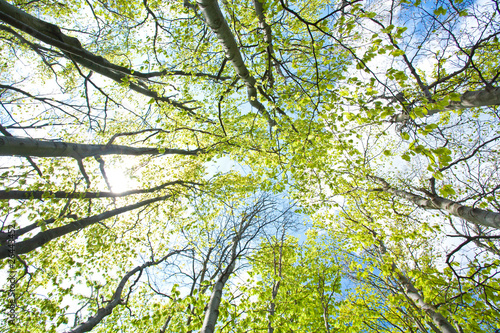 Fotobehang Aan het plafond beech trees upward the sky