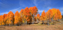 Panoramic View Of Many Bright Colored Aspen Trees