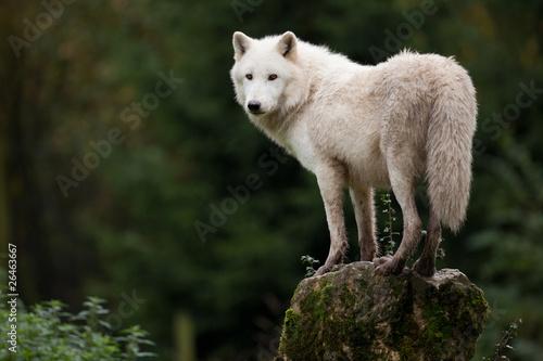 Papiers peints Loup loup blanc hurlement hurler peur chien animal sauvage.jpg