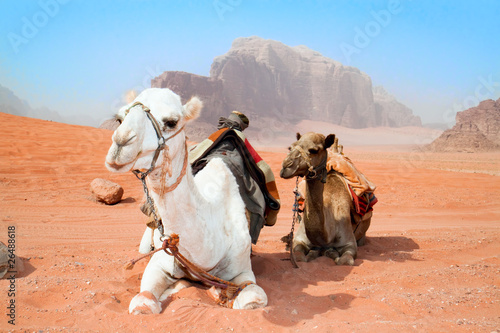 Photo  Camels take a rest in Wadi Rum red desert