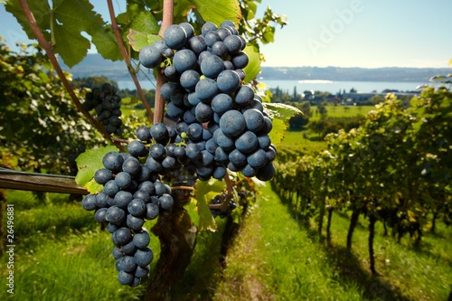 Photo ripe Purple Grapes