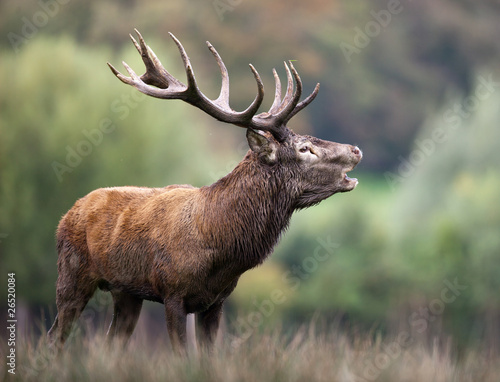 Poster Cerf cerf brame bois cors cervidé mammifère animal forêt roi biche