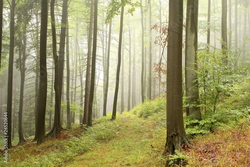 Foto auf Acrylglas Wald im Nebel Beech trees in autumn forest on the slope on a foggy day