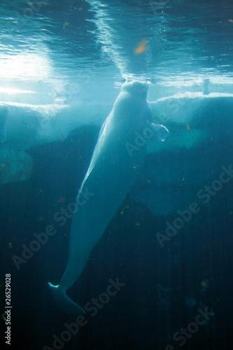 White Beluga Whale .. Fototapet