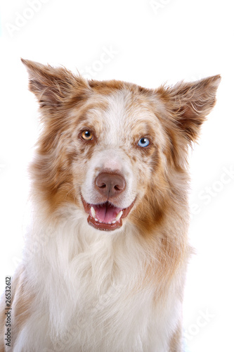Fototapety, obrazy: Head of border collie dog isolated on a white background