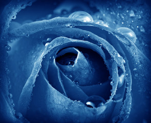 Obraz na Szkleblue rose detail with dew drops