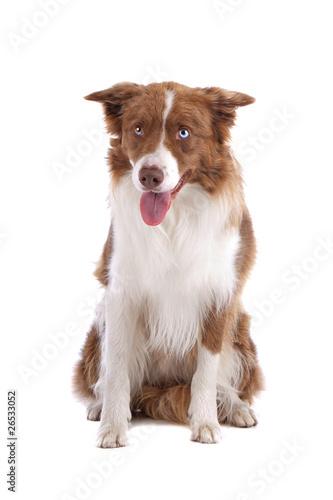 Fototapeta Brown and white border collie dog isolated on a white background obraz na płótnie
