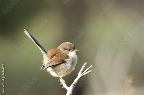 Valokuva  Superb Fairy-Wren (Malurus Cyaneus)