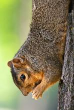 Eastern Fox Squirrel Eating A ...