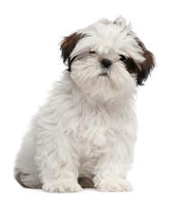 Shih Tzu Puppy, 3 Months Old, ...