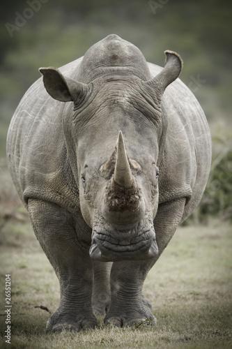 Spoed Foto op Canvas Neushoorn White rhinoceros toned image