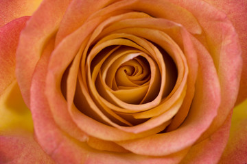 FototapetaBeautiful orange roses close-up