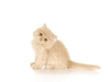 Persian Kitten Sitting