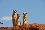 Drei Erdmännchen schauen uns an