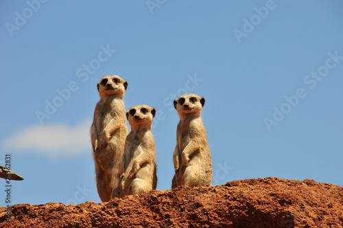Türaufkleber Afrika Drei Erdmännchen schauen uns an