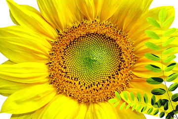 FototapetaSunflower isolated in white background