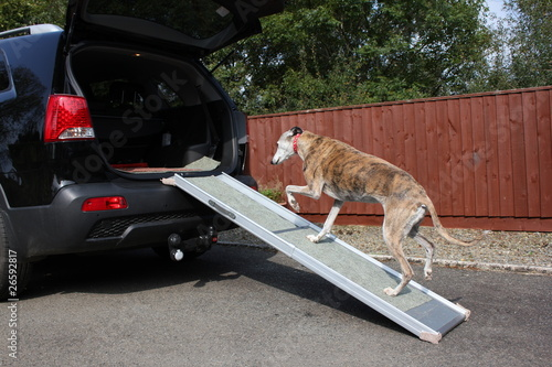Photographie Dog walking up ramp into car