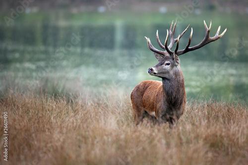 Photo sur Toile Cerf cerf cervidé chasse brame bois cor forêt roi fier mammifère s