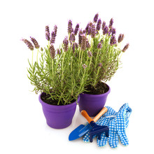 Lavender Stoechas With Gardening Tools