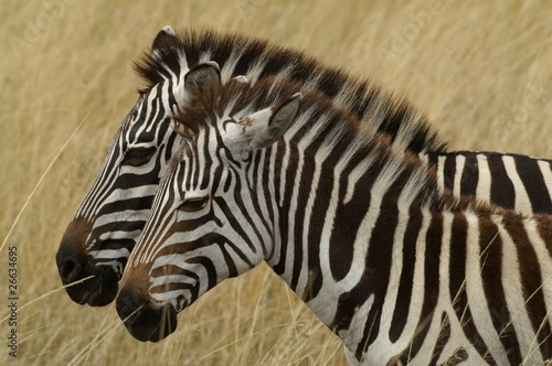Photo Stands Zebra zebra foal with mare