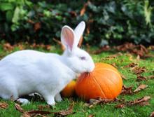 Albino Flemish Giant Rabbit Nibbling At Pumpkins