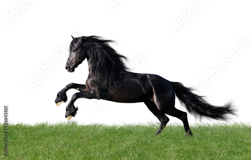 Foto op Canvas Paarden isolated friesian horse playing on the grass
