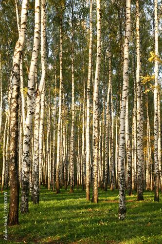 Deurstickers Berkbosje Birch Grove In Autumn in sunset
