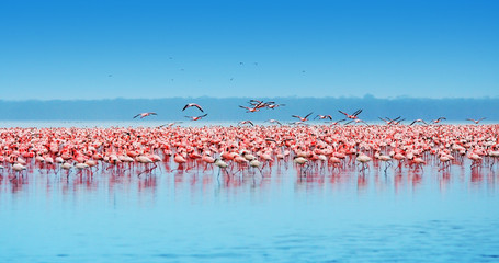 FototapetaAfrican flamingos