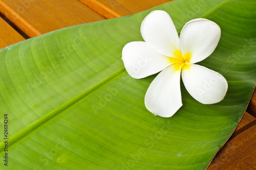 A white plumeria on green leaf