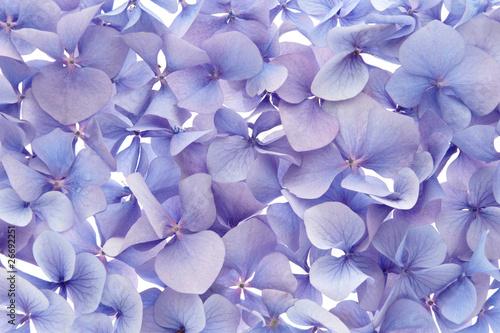 Foto op Plexiglas Hydrangea blue hydrangea background