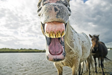 An Appaloosa Horse Yawning And Showing Teeth.