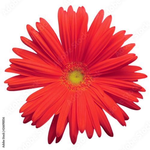 Red Gerber Daisy Isolated Macro Closeup Canvas Print
