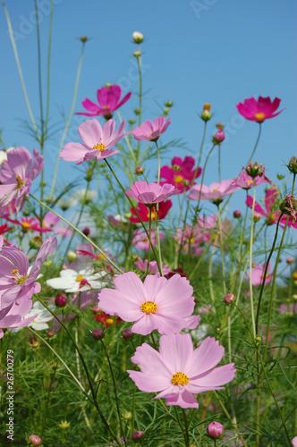 Garden Poster Spring コスモス