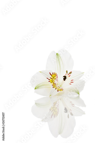 Foto op Plexiglas Magnolia Lilie weiss