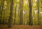Buczyna jesienią