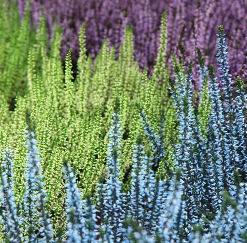 Obrazy lawenda stowarzyszenie-bruyeres-zielony-niebieski-fioletowy