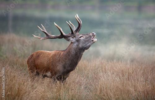 Poster Cerf brame cerf matin bois roi forêt cervidé mammifère sauvage ani