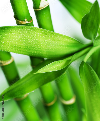 Plakaty rośliny   bambus-na-bialym-tle