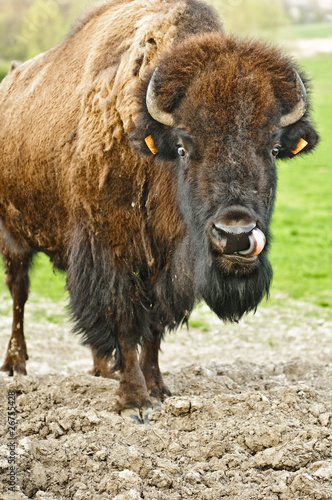 Photo Stands Buffalo Bison